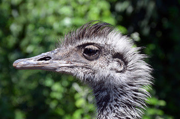 head of ostrich photo