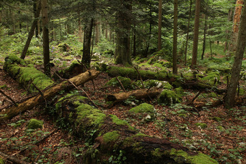 Forest with fallen trees and moss