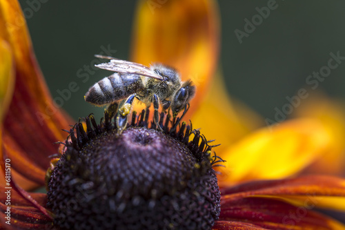 Foto op Plexiglas Bee Bee gathering nectar and spreading pollen.