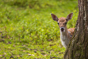 Close-up fallow deer in wild nature