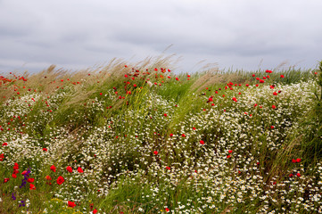 Poppy and chamomile field