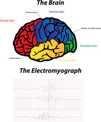 Brain and Electromyograph