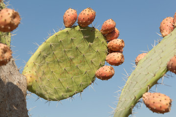 Sweet Prickly pear growing in Israel.