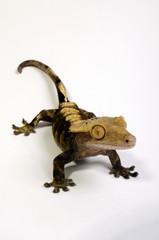 Kronengecko (Rhacodactylus ciliatus)