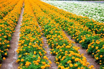 Marigold and white begonia  garden