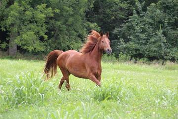 Sorrel Horse Running in Summer Pastures