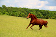 Sorrel Horse Running in Summer Pastures - 68119926