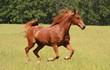 Obrazy na płótnie, fototapety, zdjęcia, fotoobrazy drukowane : Sorrel Horse Running in Summer Pastures
