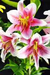 Blooming Lilium in the garden