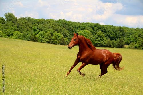 Zdjęcia na płótnie, fototapety, obrazy : Sorrel Horse Running in Summer Pastures