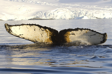 humpback whale tail diving in Antarctic waters against the backd