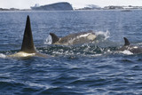 pack of killer whales swimming along the Antarctic coast sunny s