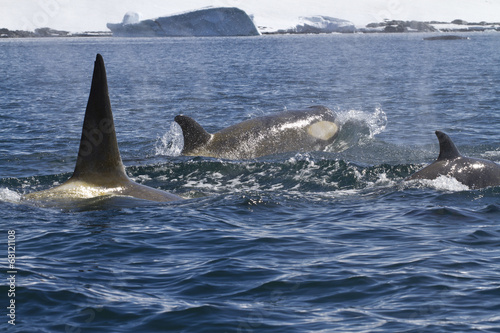 Spoed canvasdoek 2cm dik Antarctica pack of killer whales swimming along the Antarctic coast sunny s
