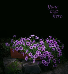 Petunia flowers in night park