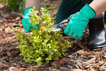 Gardener pruning a plant