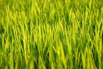 green grass background on summer