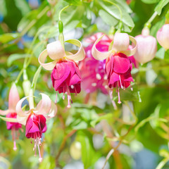 blossoming red and white a fuchsia flower outdoor background, `M