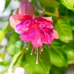 blossoming beautiful colorful fuchsia flower outdoor background,