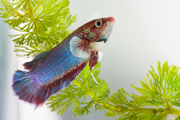 siamese fighting fish  in aquarium water