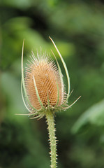 The Stalk and Head of a Traditional Thistle Plant.