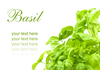 leaf of basil isolated
