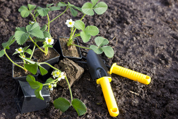 Cultivating strawberry plants