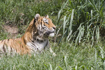 Tigre, em Zôo de São Paulo
