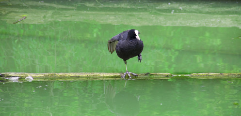 Dance of the coot on a branch in the lake