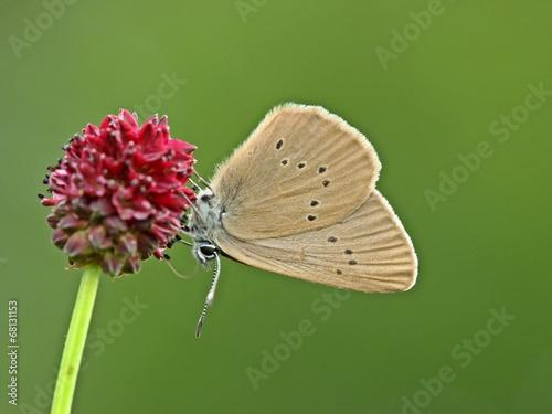Deurstickers Vlinder Dunkler Wiesenknopf-Ameisenbläuling (Phengaris nausithous)