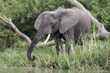african elephant at Kazinga Channel
