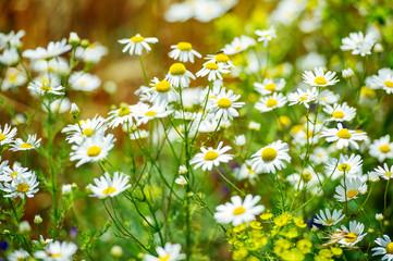 Beautiful field of daisy flowers