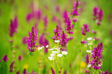 Violet meadow flowers