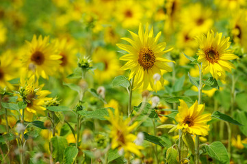 Sunflower field on a sunny day