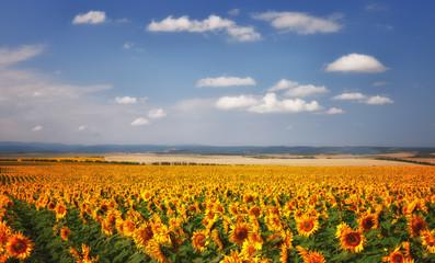 Sunflowers field under blue sky