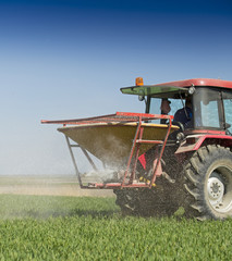 Farmer fertilizing wheat field with npk