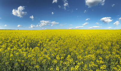 Canola, rapeseed crops field blooming over blue couds