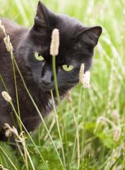 Schwarze Katze mit grünen Augen auf einer Wiese