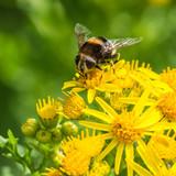 Bumblebee Mimic poster