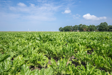 Dutch farmland with sugar beets