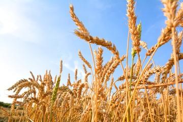 Getreide im Juli