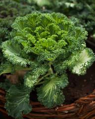 Kale leaves in a pot