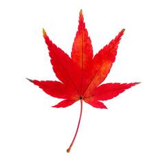 rotes Ahornblatt vor weißem Hintergrund