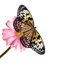 Beautiful Plain Tiger butterfly perching