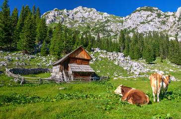 Cows in Planina v Lazu Alpine Meadow in Bohinj