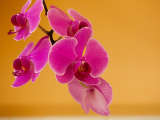 Phalaenopsis. Pink purple orchid flower indoor.