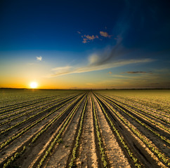 Sunset over field of green soya bean plants growing