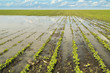 Agricultural disaster, flooded soybean crops. - 68140911