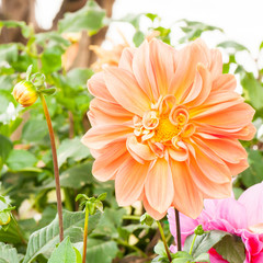 Dahlia flower at the garden