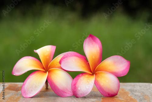 In de dag Frangipani Frangipani flowers