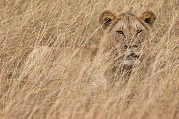 Lion hiding in long grass